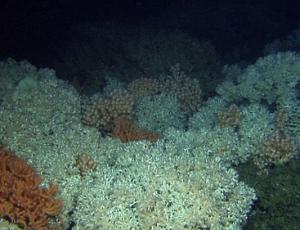 Kaltwasser-Korallenriff vor Røst, Copyright: MAREANO/Havforskningsinstituttet