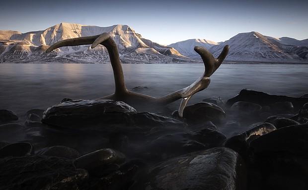 Svalbard-reinhorn-620