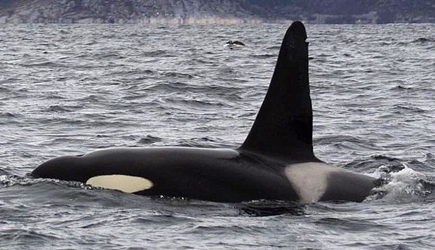 Orca im Tysfjord (c) wikipedia