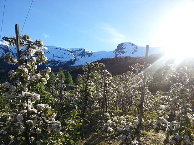 Hardanger Obstbaumbluete, (c) Bleietunet