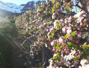 Hardanger Obstbaumbluete - (c) Bleietunet