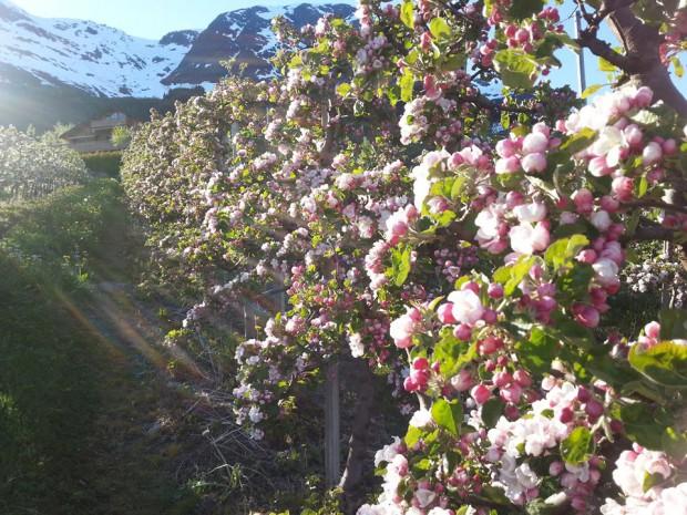Hardanger Obstbaumbluete – (c) Bleietunet