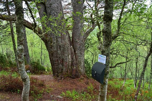 Dicker Nadelbaum bei Molde