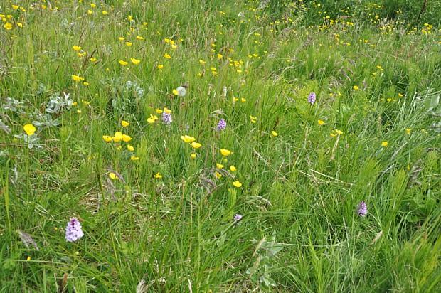 Orchideenwiese auf den Lofoten