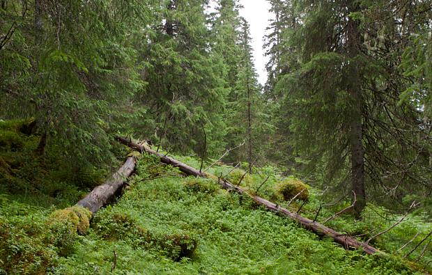 Borealer Regenwald