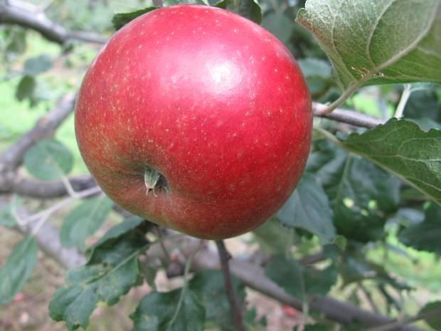 Apfel Rondestveit, Foto: Åsmund Asdal