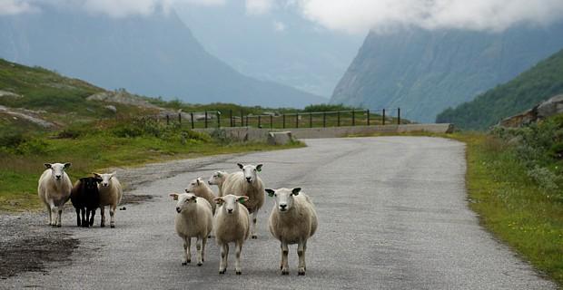 Schafe auf dem Weg Copyright Reinhard Pantke