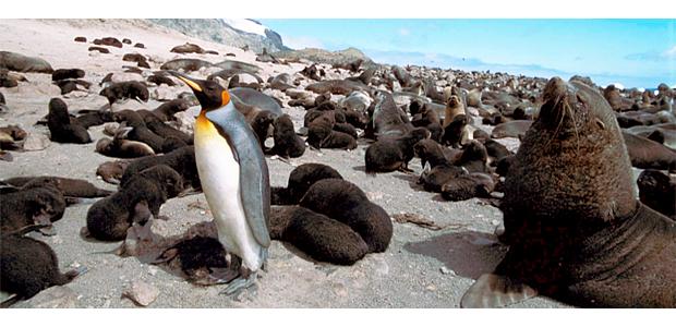 Bouvetinsel Pinguin, (c) Foto: Martin Biuw, Norsk Polarinstitutt