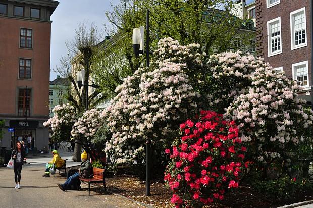 Rhododendron-Pracht in Bergen