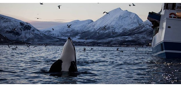 Walsafari Tromsoe Copyright Karina Weinschenk Titel