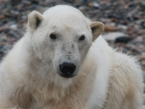 Eisbär auf Spitzbergen Copyright Ellinor Rafaelsen