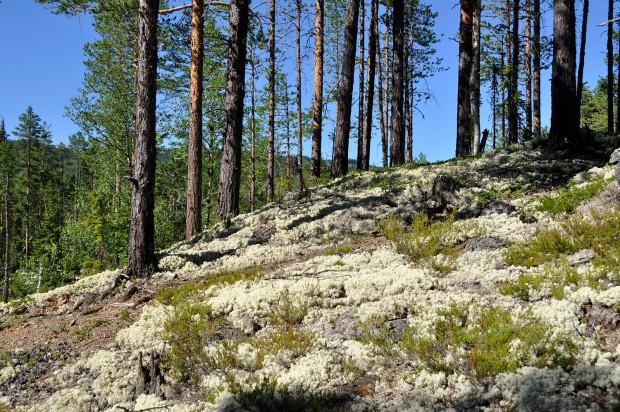 Flechten Hallingdal Wald Rentier
