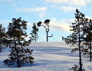 Baum Kiefern in Alta