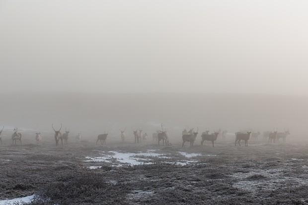 Rentierherde Copyright Sirko Trensch norwegen-fotografie