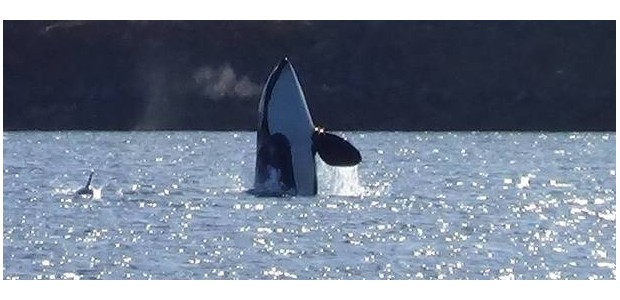 Wale Copyright Roger Holmstrand
