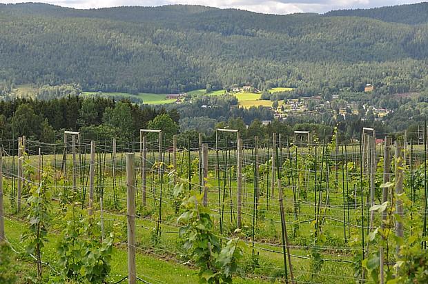 Weinberg in Norwegen