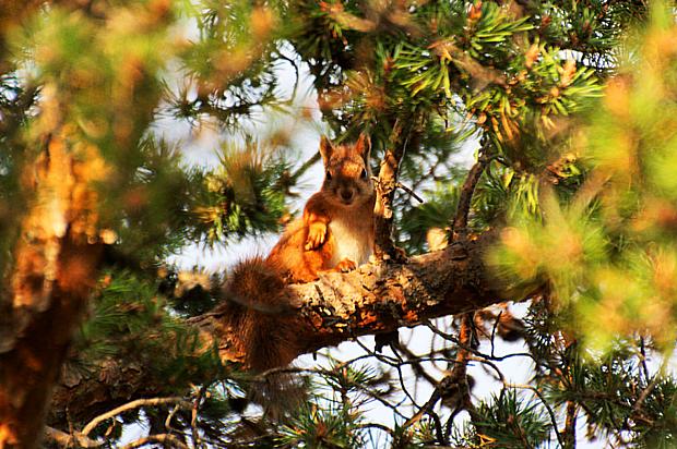 Eichhörnchen Wald Kiefer Tiere