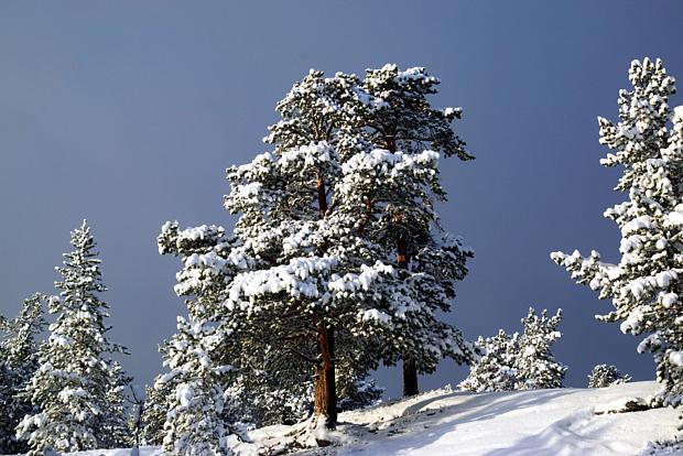 14 Kiefer im Winter Schnee Baum
