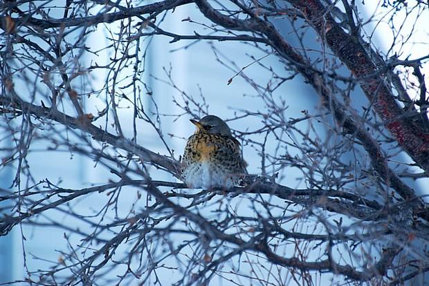 Alta Winter Vogel Tier 05